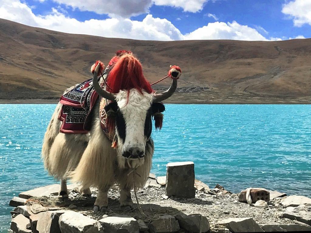 White yak by holy Yamdrok lake in Tibet